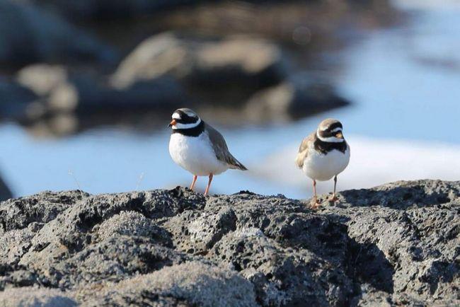 На острові Папа-Стур в Великобританії організований заказник, де галстучник включена в список охоронюваних видів.