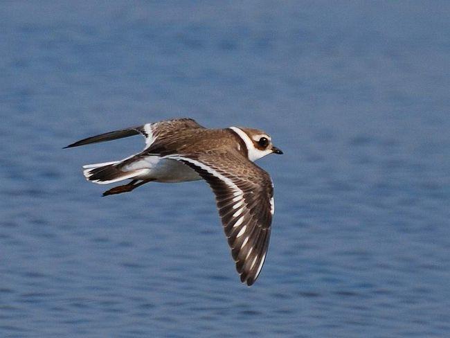 На внутрішній стороні крила галстучника біла смуга, яку видно в польоті.